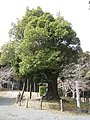 Gikoji urajirogasi, Osaki.jpg