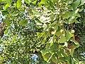 Ginkgo biloba - 14.jpg