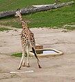 Giraf pee.jpg