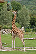 Giraffa camelopardalis rothschildi qtl1.jpg