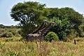 Giraffe, Tarangire National Park (30) (28640127481).jpg