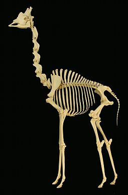 Giraffe skeleton on display at the Museum of Osteology, Oklahoma City, Oklahoma Giraffe skeleton.jpg
