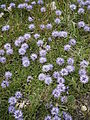 Globularia cordifolia RHu01.JPG