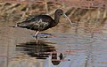 Glossy Ibis, Plegadis falcinellus at Marievale Nature Reserve, Gauteng, South Africa. Marievale is probably the best place to see this bird. (20926078670).jpg