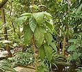Goethea strictiflora1 ies.jpg