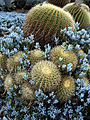 Golden Barrels & Senecio mandraliscae Blue Stick succulents, Huntington.jpg