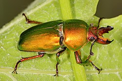 Golden stag beetle.jpg