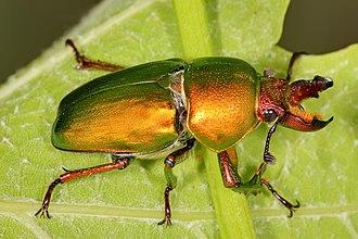 Stag beetle - Male Lamprima aurata