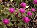 Gomphrena 'Pink Zazzle™,' Phipps Conservatory Outdoor Garden, 2015-10-01, 03.jpg