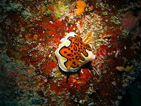 Description de l'image Goniobranchus gleniei Maldives.JPG.