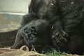 Gorilla gorilla gorilla at the Denver Zoo-2012 03 12 1019.jpg