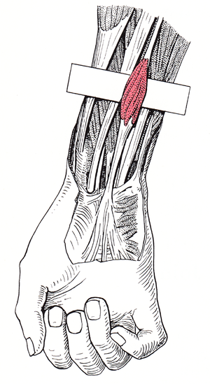 Palmaris longus muscle - Image: Grant 1962 97 D