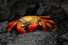 A red crab on a rocky background