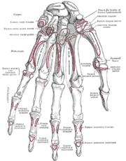 Скелет меня завораживает.  Кости, суставы, сухожилия, прочие.