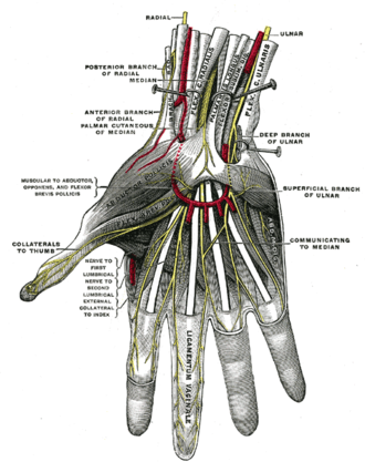 Superficial branch of ulnar nerve - Superficial palmar nerves. (Superficial branch of ulnar labeled at center right.)
