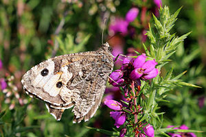 Grayling (butterfly) - Underside, Greenham Common, Berkshire, England