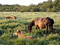 Grazing ponies in the Bishop of Winchester's Purlieu, New Forest - geograph.org.uk - 206689.jpg