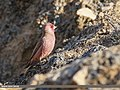 Great Rosefinch (Carpodacus rubicilla) (31466264948).jpg