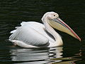Great White Pelican RWD.jpg
