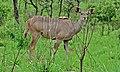 Greater Kudu Female (Tragelaphus strepsiceros) (6011632761).jpg