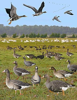 Greater White-fronted Goose from the Crossley ID Guide Britain and Ireland
