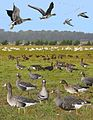 Greater White-fronted Goose from the Crossley ID Guide Britain and Ireland.jpg