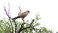 Greater kestrel, Falco rupicoloides at Pilanesberg National Park, Northwest Province, South Africa (16741126897).jpg