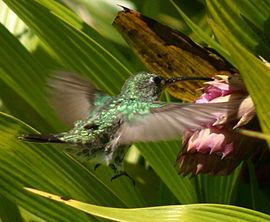 Green-and-white hummingbird feeding.JPG