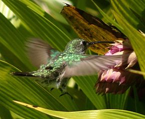 Description de l'image Green-and-white hummingbird feeding.JPG.