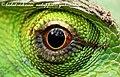 Green Calotes chinnar alampetti 2009 05 20 9 7 (3602893707).jpg