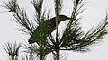 Green Heron (Butorides virescens) - Guelph, Ontairo 02.jpg