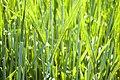 Green Wheat - geograph.org.uk - 187645.jpg