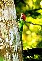 Green forest lizard(calotes calotes).jpg