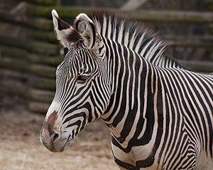 Grévy's zebra - Detail of head