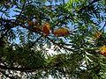 Grevillea robusta, flowering clusters.jpg