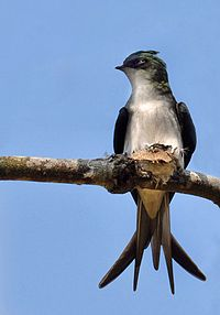 Grey Rumped Treeswift.jpg