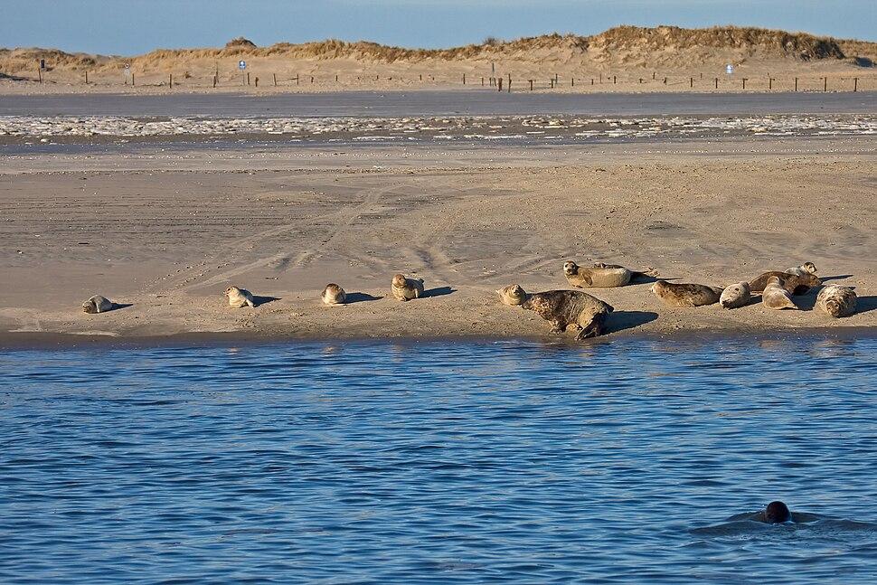Grey Seal Norderney