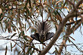 Grey fantail Rhipidura albiscapa in river red gum Eucalyptus camaldulensis (8177158093).jpg