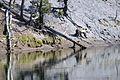 Grizzly bear near the Yellowstone River.jpg