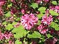 Groseillier à fleurs - Ribes sanguineum.JPG