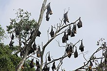 Group flying dogs hanging in tree Sri Lanka.JPG