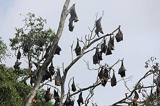 Bat - Group of megabats roosting