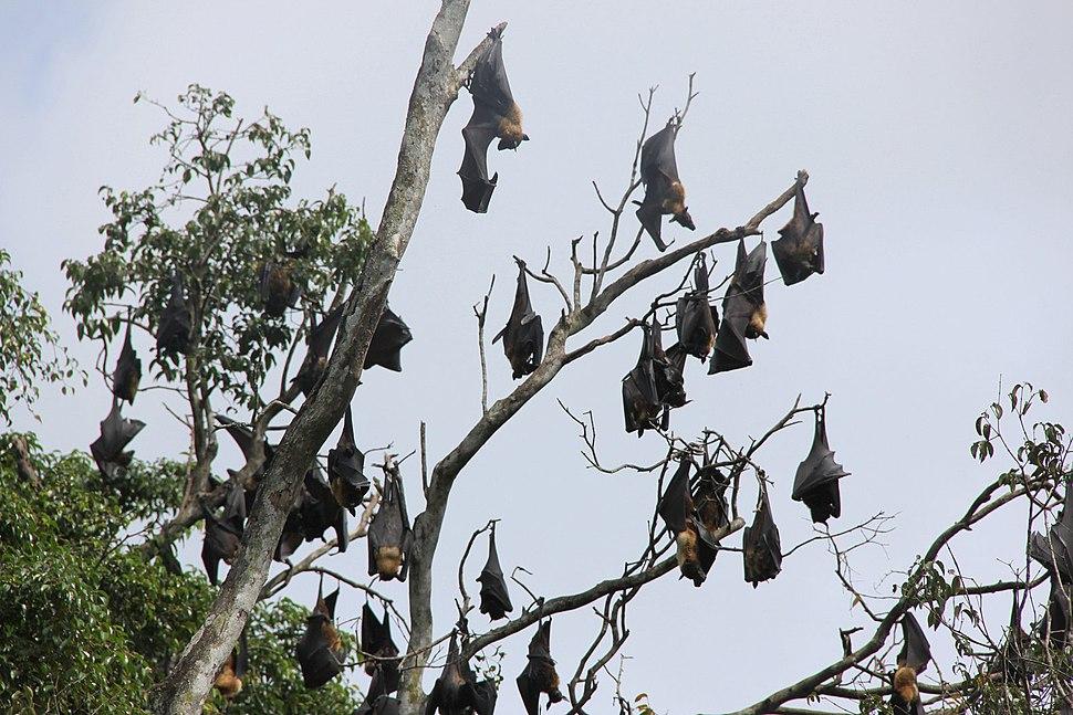 Group flying dogs hanging in tree Sri Lanka