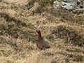 Grouse - geograph.org.uk - 387134.jpg