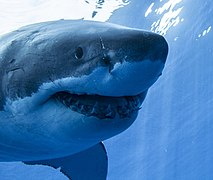 Guadalupe Island Great White Shark Face On.jpg