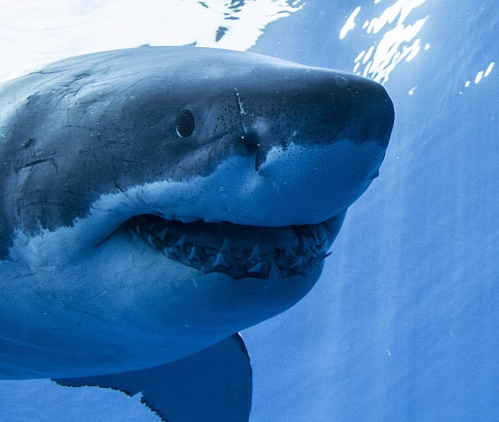 File:Guadalupe Island Great White Shark Face On.jpg