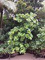 Guettarda speciosa habitus Beqa Fiji.jpg
