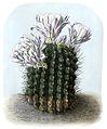 Gymnocalycium gibbosum BlKakteenT55.jpg