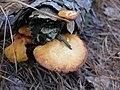 Gymnopilus sapineus 7065435.jpg
