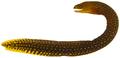 Gymnothorax miliaris - pone.0010676.g008.png